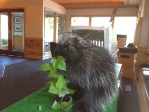 Thistle the Porcupine