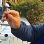 Bird Banding at Sugarloaf Cove on Minnesota's North Shore