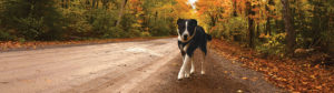 Dog on trail near Bluefin Bay Family of Resorts