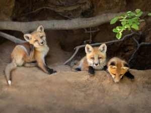 April Calendar Baby Foxes